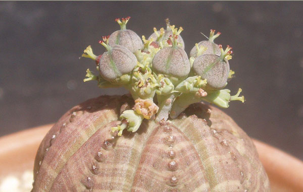 Euphorbia Obesa(Baseball Plant)
