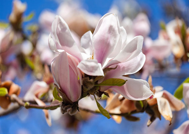 Magnolia: Grow & Care for MagnoliaTree