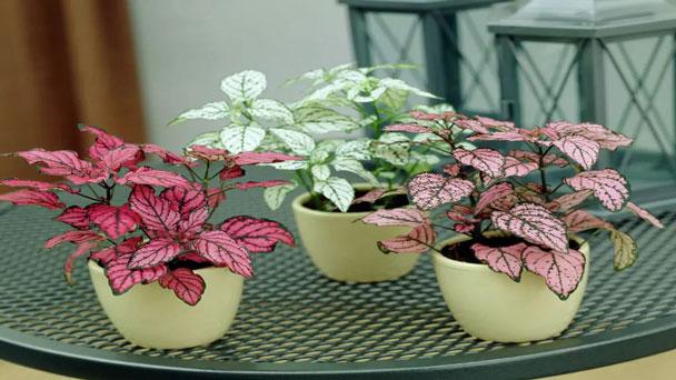 Polka Dot Plant (Hypoestes phyllostachya Baker) Care & Propagation Guide