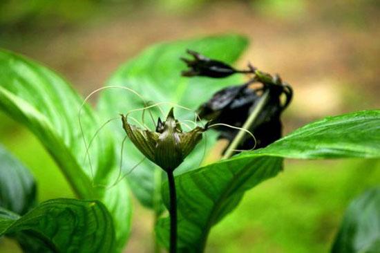 Bat-flower