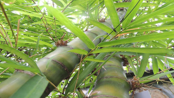 Buddha Belly Bamboo: Grow & Care for Bambusa Ventricosa