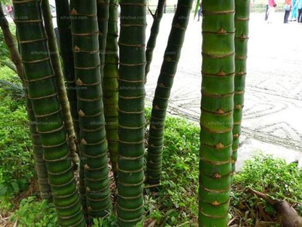 Buddha-belly-bamboo