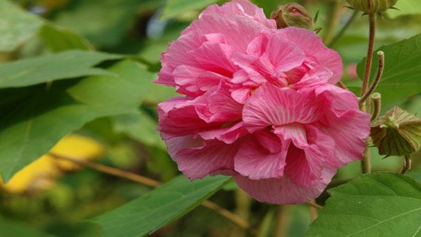 Hibiscus Mutabilis (Confederate Rose) Grow & Care Guide