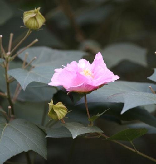 Hibiscus-Mutabilis