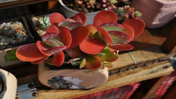 Paddle Plant (Kalanchoe Lucia) Care & Grow Guide