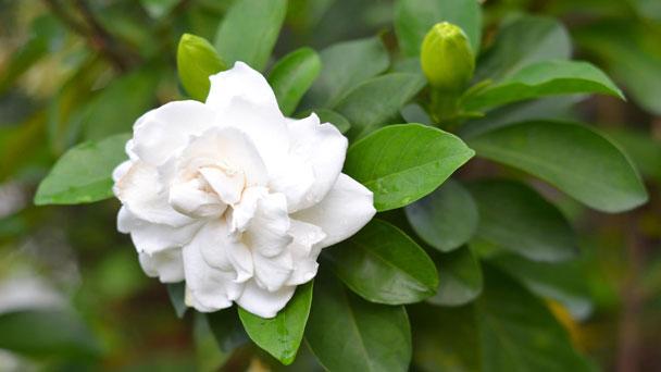 Cape Jasmine: Grow & Care for Gardenia Jasminoides