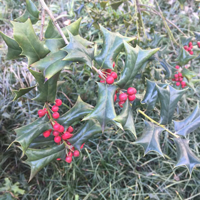 Chinese-holly