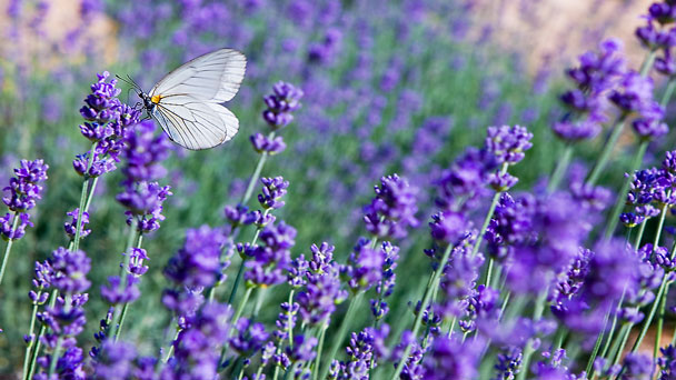 Lavender: Grow & Care for Lavandula