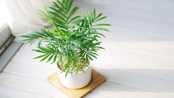 Best Indoor Tree - Parlor palm