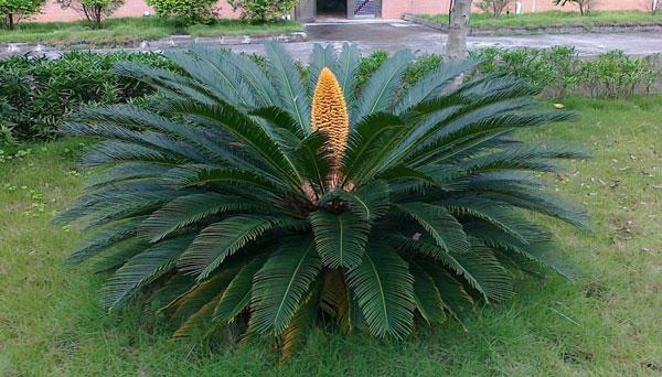Sago Palm (Cycas Revoluta) Grow & Care Guide