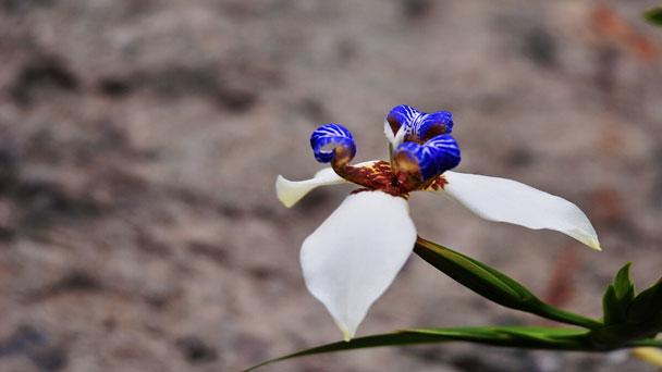 Walking Iris: Grow & Care for Neomarica gracilis