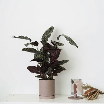 Zebra-plant-(Calathea-zebrina)