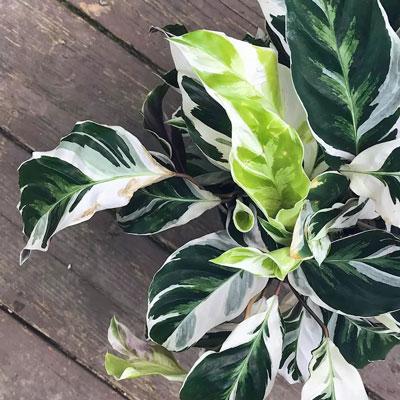 Zebra plant - most common house plant