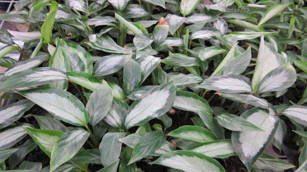Zebra plant: Grow & Care for Calathea zebrina