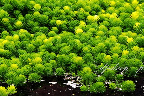 Coontail-Hornwort