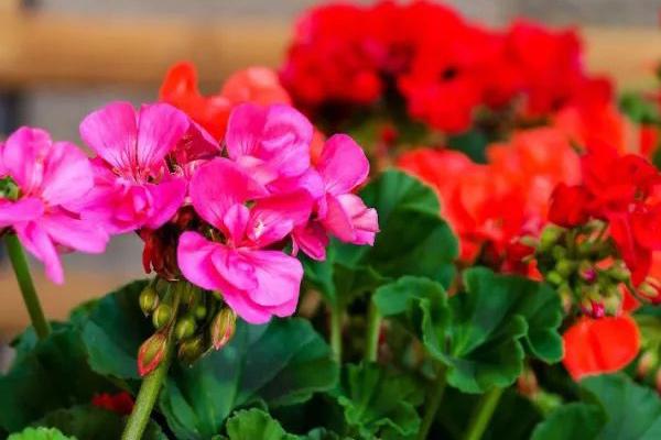 Geraniums-(Pelargonium)