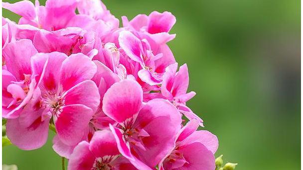 Geraniums: Grow & Care for Pelargonium