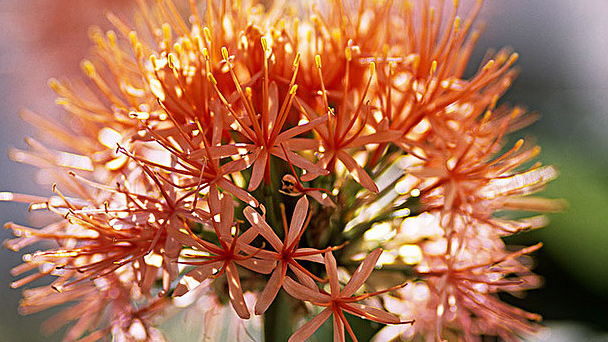 Blood Lily: Grow & Care for Scadoxus Multiflorus