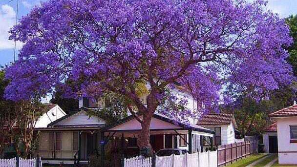 Blue Jacaranda TreeGrow & Care Guide