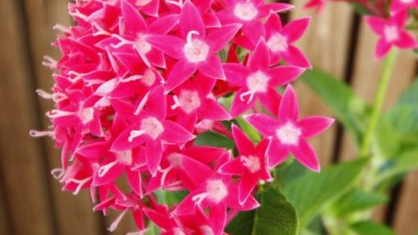 Grow & Care for PentasFlowers (Pentas Lanceolata)