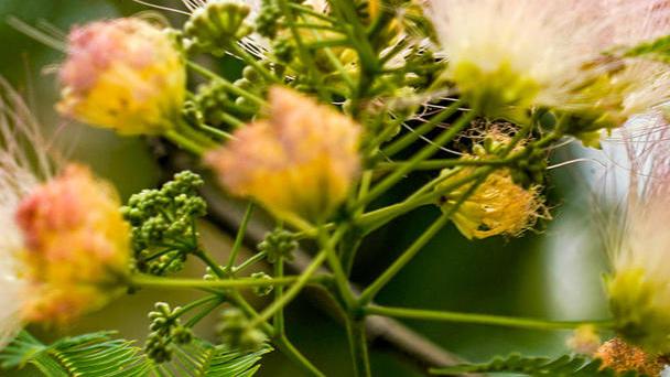Persian Silk Tree: Grow & Care for (Albizia Julibrissin)