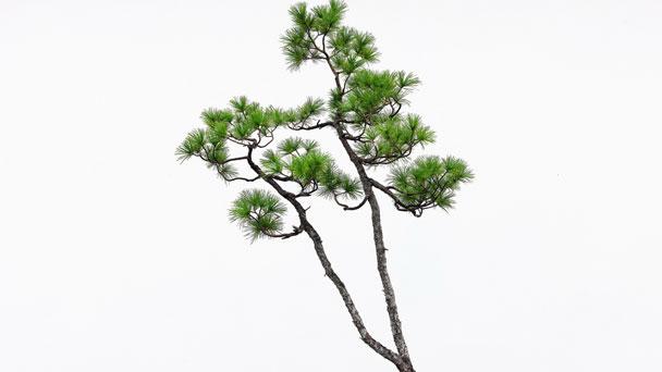 Japanese White Pine: Grow & Care for Pinus Parviflora