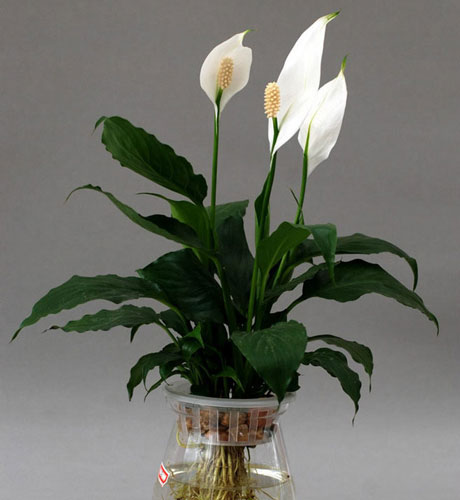 Peace Lily - most common hosue plant