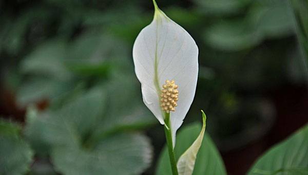 Peace Lily: Grow & Care forSpathiphyllum