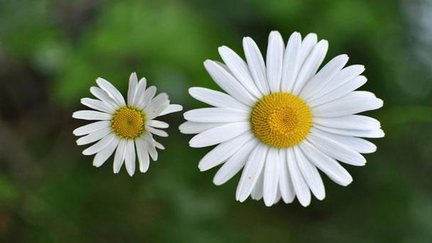 Chamomile: Care & Grow Matricaria Recutita