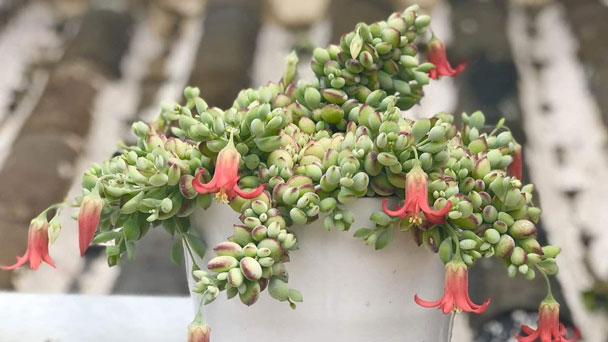 Cotyledon Pendens: Grow & Care forCliff CotyledonSucculent
