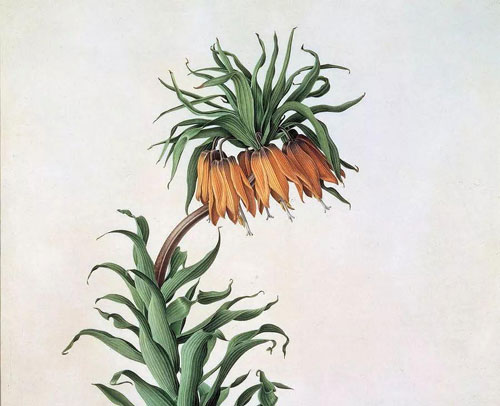 Crown Imperial: Grow & Care for Fritillaria imperialis