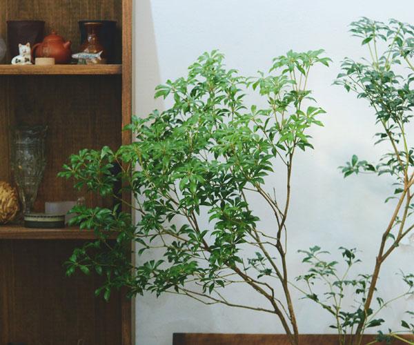 Pieris Japonica (Japanese Pieris)