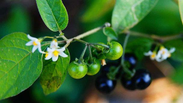 Black Nightshade (Solanum Nigrum) : Prevention & ControlSolanum Nigrum