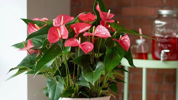 Flamingo Flower: Grow & Care for Anthurium