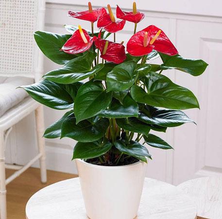 Flamingo Flower - most common house plant