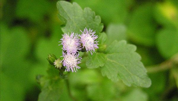 Floss Flower: Grow & Care for Ageratum Houstonianum
