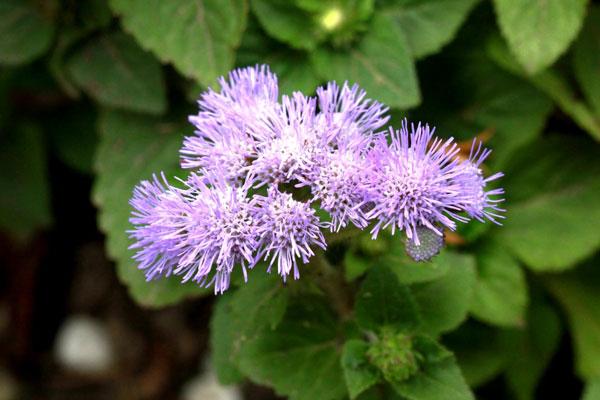 Floss Flower
