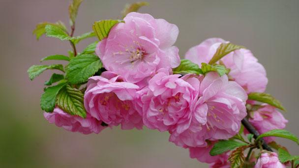 Prunus Triloba: Grow & Care for Prunus Triloba
