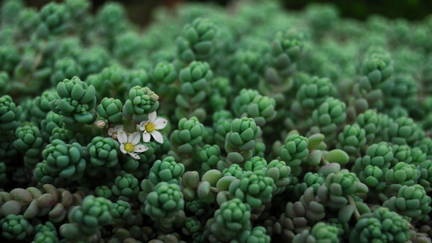 Corsican Stonecrop - one of the best succulents for beginners