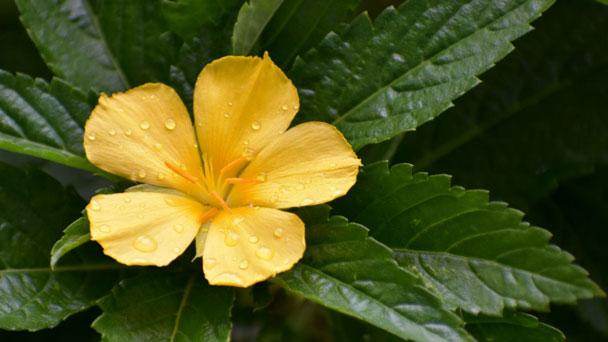 Turnera Ulmifolia: Grow & Care for Yellow Alder
