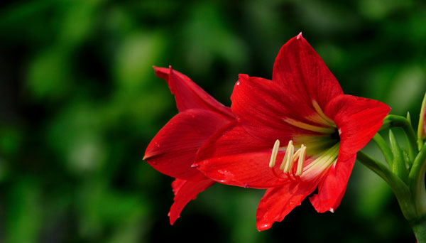 Amaryllis: Grow & Care for Hippeastrum
