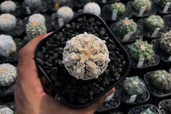 Astrophytum Asterias (Star Cactus)