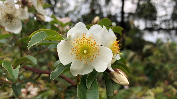 Cherokee Rose: Grow & Care for Rosa laevigata