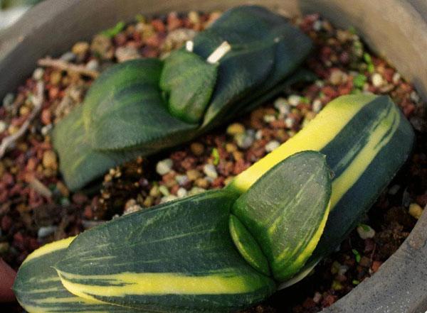 Gasteria Succulent Plants