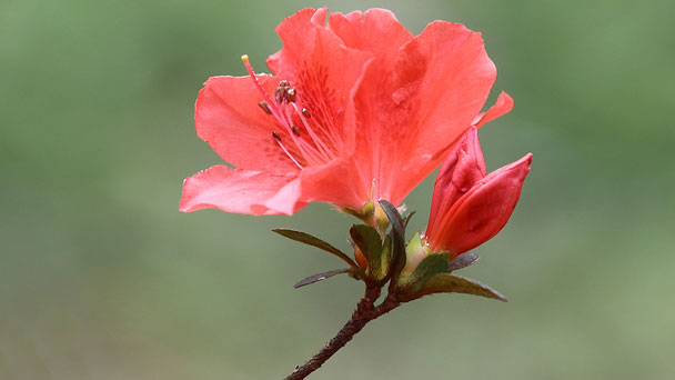Rhododendron: Grow & Care for RhododendronFlower