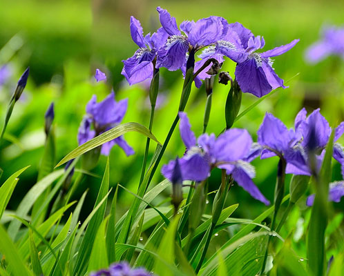 Scaevola Aemula (fairy fan flower)