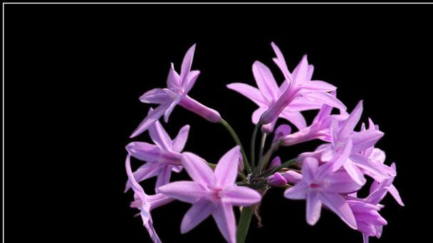 Scaevola Aemula: Grow & Care for Fairy Fan Flower