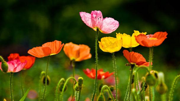 Common Poppy: Grow & Care for Papaver Rhoeas