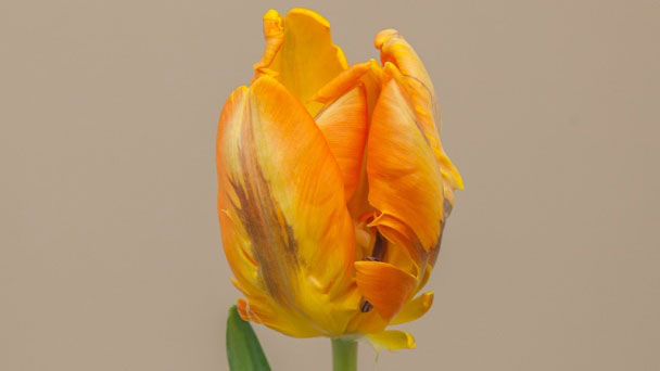 Parrot Tulips: Grow & Care for Parrot Tulips