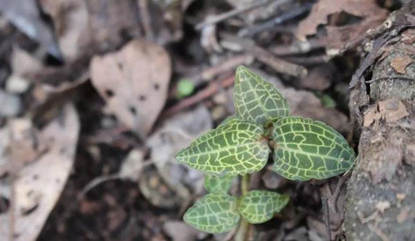 Rattlesnake Plantain (Goodyera)